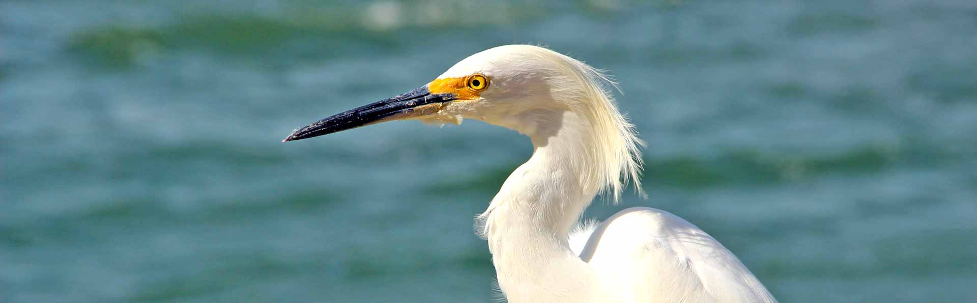 Florida egret bird